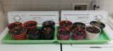 Geranium root stock