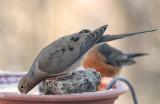 _MG_0178 Dove and Robin