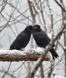 _MG_7768 Crow pair in tree
