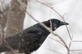 _MG_7781 Crow thru back window