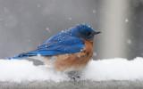 _MG_7788 Puffed up male bluebird in snow