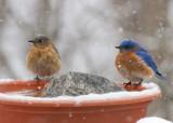 _MG_0051 Female and Male Bluebird