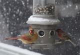 _MG_0062 Female Cardinal and Purple Finch