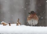 _MG_0064 Female Bluebird in Snow