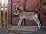 P3090016 Goat in Barn at Connemara