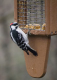 P3170070 Male Downy Woodpecker