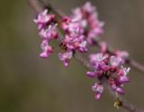 P4110150 Redbud Blossoms