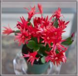 _1110652 New Easter Cactus Rhipsalidopsis
