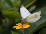 _MG_7906  Butterfly on Chrysogonum Virginianum