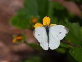 _MG_7911 Butterfly on Chrysogonum Virginianum