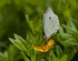 _MG_7913 Butterfly on Chrysogonum Virginianum