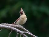 _MG_7920 Female Cardinal