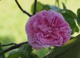 Yorkshire Dales Rose