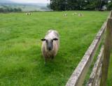SIL50284 Brave Sheep