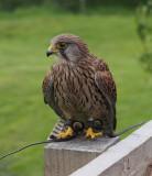 SIL50335 Raptor at Bolton Castle