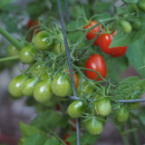 P7070049 Grape Tomatoes