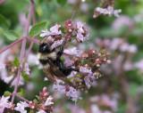 _1110822 Bee on oregano blossoms