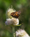 _1110911 Butterfly on Thistle 2