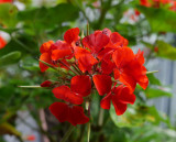 Gobsmacked by GX7 AWB Color of Orangey-Red Geranium!
