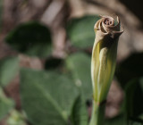 SIL00026 Moonflower Unfurling