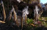 20141026_103212 Asclepias Tuberosa Seeds