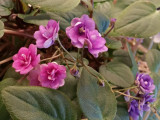 An unusual African Violet Plant