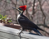 _B290008 Mrs Pileated