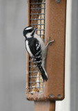 P1030306 Downy Woodpecker