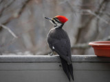P1030332 Regal Female Pileated Woodpecker