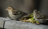 P1030442 Pine Siskins are Happy With Replenished Seed Supply