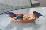 IMG_8198 Pretty Male Bluebird Trio