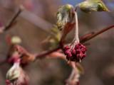 _3210113 Maple Blossom