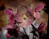 _3230149 I love hellebores (Lenten Rose)