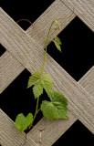 P4200114 Wild Grape, I Think