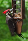 SIL10101 Male Pileated Woodpecker