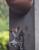 Carolina Wren with Nesting Material for the Jug Above