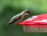 SIL50021 Boring stationary hummingbird