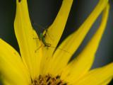 P1120817 Katydid(?) Nymph on Sunflower