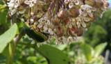Big Beetle on Milkweed