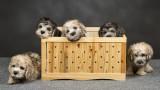 Dandie Dinmont Puppies