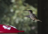 P1050999 Tongue Out Hummingbird