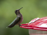P1060186 Hummingbird checking me out