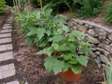 Eggplant plants are pretty and prolific....