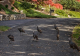 Sauntering turkeys
