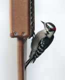 IMG_9206 Love these little downy woodpeckers