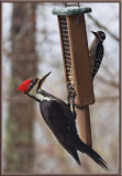 SIL70001 Pileated and Hairy Woodpeckers