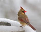 IMG_9803 Female Cardinal