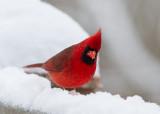 IMG_9919 Cardinal and Snow - A Magic Combination