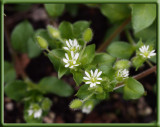 SIL10043 Are you blessed with chickweed this spring?