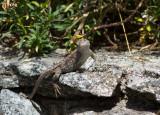 IMG_0337 Eastern Fence Lizard